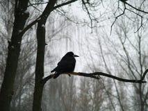 一只乌鸦的黑剪影在外形的在一个树枝,在那里背景中是树和一个阴沉的冬天光秃的分支  免版税图库摄影