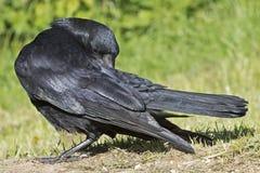 一只乌鸦 免版税图库摄影