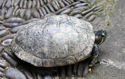 一只乌龟的特写镜头在巴厘岛,印度尼西亚 库存照片