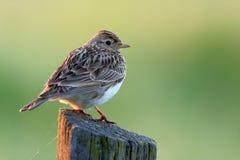 一只云雀鸟的特写镜头在春天嵌套期间 库存图片