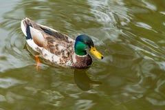 一只五颜六色的公野鸭在池塘游泳 免版税库存图片