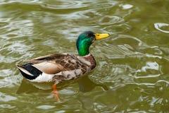 一只五颜六色的公野鸭在池塘游泳 图库摄影