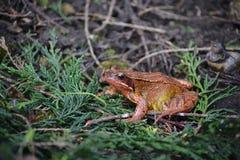 一只五颜六色的棕色绿色和橙色青蛙在我的野生生物庭院里 库存图片