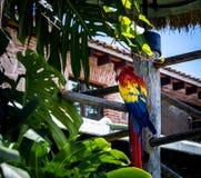 一只五颜六色的猩红色金刚鹦鹉 库存图片
