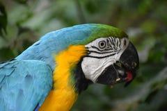 一只五颜六色的美丽的蓝色和金金刚鹦鹉的特写镜头在南非 库存图片