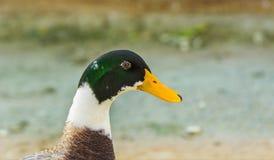 一只五颜六色的野鸭鸭子或野鸭(男性)的特写镜头 免版税图库摄影