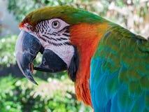 一只五颜六色的金刚鹦鹉的外形 免版税库存照片