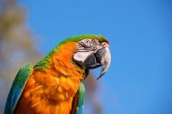 一只五颜六色的金刚鹦鹉鸟的特写镜头 免版税库存照片