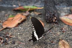 一只五颜六色的黑白蝴蝶的特写镜头 图库摄影