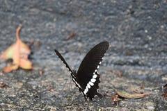 一只五颜六色的黑白蝴蝶的特写镜头 库存图片