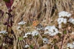 一只五颜六色的蝴蝶坐小花在Binsar位于阿尔莫拉的野生生物保护区森林里Uttrakhand 图库摄影