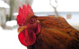 一只亭亭玉立的白色雄鸡的画象与一把非常大红色梳子,一cockscomb的,在鸡舍由网和白色耳垂制成和 免版税库存图片