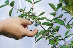 一只人的手为到达可食的忍冬属植物拉特成熟蓝色莓果  在分支的忍冬属caerulea 库存照片