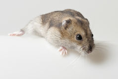 一只仓鼠-宠物 免版税库存图片