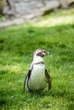 一只企鹅的画象在草的 免版税库存照片