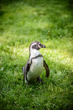 一只企鹅的画象在草的 库存照片