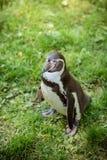 一只企鹅的画象在草的 库存图片
