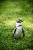 一只企鹅的画象在草的 免版税库存图片