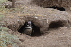 一只企鹅 图库摄影