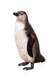 一只企鹅 免版税图库摄影