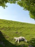 一只休息的幼小羊羔的春天图象 库存图片