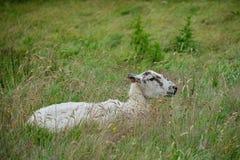 一只休息的绵羊 库存图片
