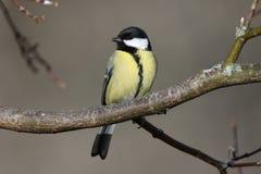 一只伟大的山雀的美妙的神色在分支栖息 库存图片