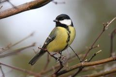 一只伟大的山雀的美妙的神色在分支栖息 库存照片