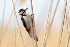 一只伟大的被察觉的啄木鸟, Dendrocopos少校 库存图片