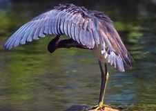 一只伟大的黑苍鹭 库存图片