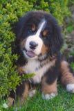 一只伯尔尼的山狗小狗微笑 库存照片