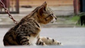 一只作白日梦的猫,大概观看某事 免版税库存照片