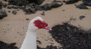 一只俄国鸭子的画象在海滩的 免版税库存照片