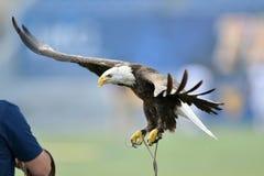 一只俘虏白头鹰飞行到它的经理 免版税库存图片