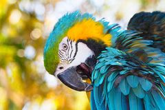 一只充满活力的色的,蓝绿色和金金刚鹦鹉鹦鹉的特写 免版税库存照片
