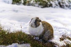 一只兔子在下雪期间的森林里 免版税库存图片