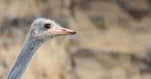 一只公南非驼鸟的画象 库存照片