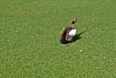 一只公埃及鹅 免版税库存照片