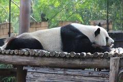 一只公熊猫在Chiangmai动物园里 库存照片