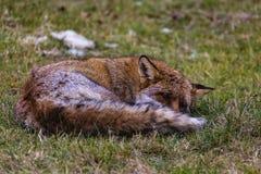 一只公狐狸 免版税库存照片