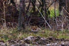 一只公狐狸 免版税库存图片