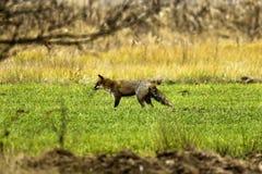 一只公狐狸 库存照片