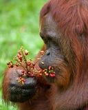 一只公猩猩的画象 特写镜头 印度尼西亚 加里曼丹婆罗洲海岛  库存图片