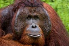 一只公猩猩的画象 特写镜头 印度尼西亚 加里曼丹婆罗洲海岛  图库摄影