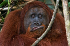 一只公猩猩的画象 特写镜头 印度尼西亚 加里曼丹婆罗洲海岛  库存照片