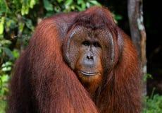 一只公猩猩的画象 特写镜头 印度尼西亚 加里曼丹婆罗洲海岛  免版税库存图片