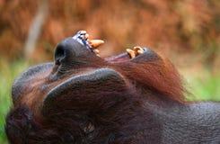 一只公猩猩的画象 特写镜头 印度尼西亚 加里曼丹婆罗洲海岛  免版税库存照片