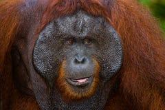 一只公猩猩的画象 特写镜头 印度尼西亚 加里曼丹& x28海岛; Borneo& x29; 图库摄影