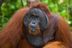 一只公猩猩的画象 特写镜头 印度尼西亚 加里曼丹& x28海岛; Borneo& x29; 免版税图库摄影