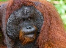 一只公猩猩的画象 特写镜头 印度尼西亚 加里曼丹& x28海岛; Borneo& x29; 免版税库存图片